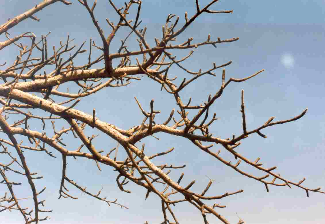 Fachoka  tree  amp  branches without leaves in Arba Zekuar  Belessa    Tree Branch With Leaves