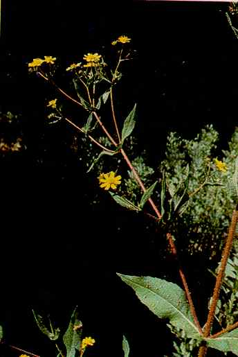 Guizotia s. adult plant withflowers